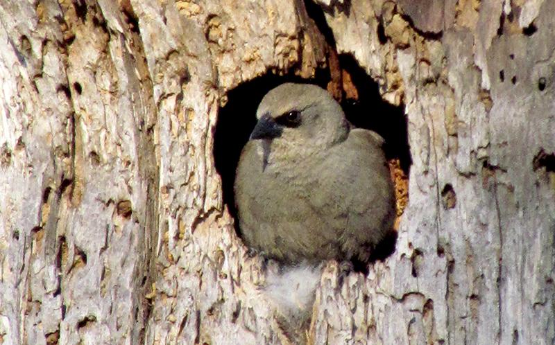 Ejemplar de tordo músico asomado en su nido en el hueco de un árbol