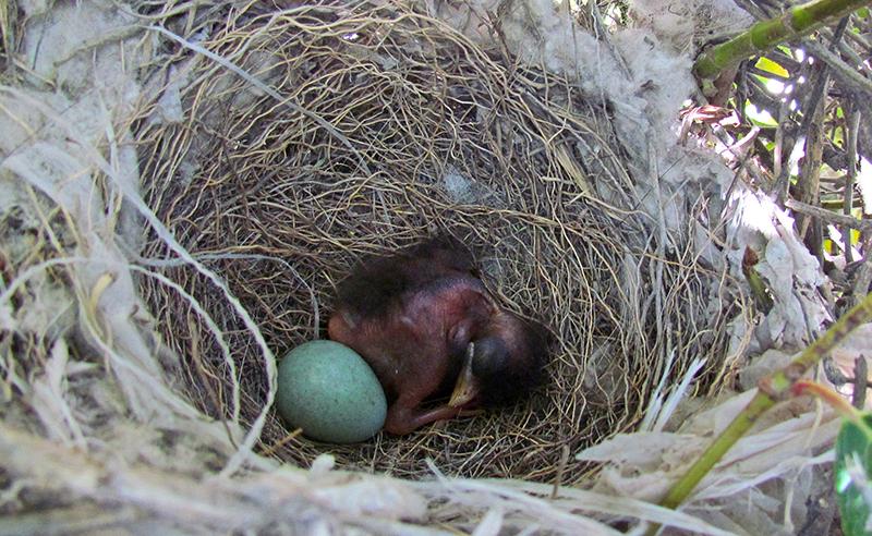 Pichón de calandria junto a huevo no eclosionado