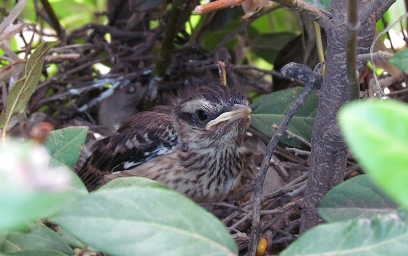 Ejemplar de calandria aun en su nido