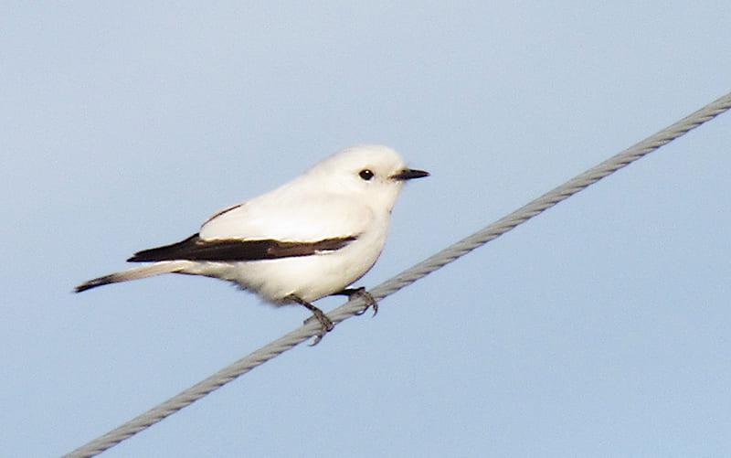 Monjita blanca posada sobre un alambrado