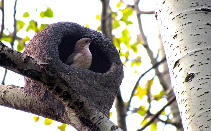Ejemplar de Hornero construyendo su nido