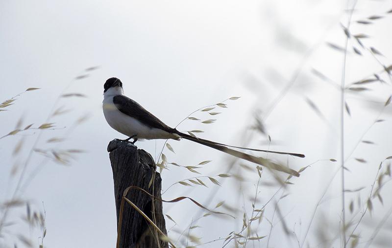 Ejemplar macho de tijereta posado sobre un poste.